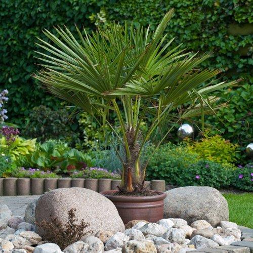 Hardy Fan Palm Trachycarpus fortuneia 80-100cm tall