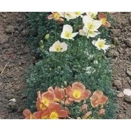 Flower - Papaver - Alpine Poppy Mixed - 250 Seeds
