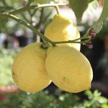 Citrus Lemon Tree 1.2M tall