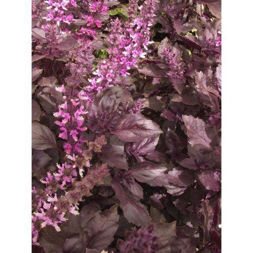 Organic Herb - Basil - Red - 400 Seeds