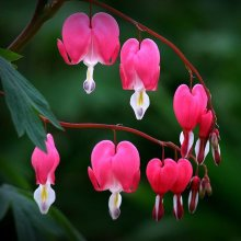 10Pcs Dicentra Spectabilis Seeds Bleeding Heart Garden Plant Heart-Shaped Flowers
