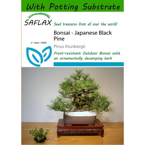 Saflax  - Bonsai - Japanese Black Pine - Pinus Thunbergii - 30 Seeds - with Potting Substrate for Better Cultivation