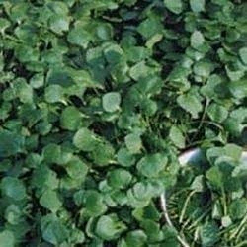 Organic Salad - Purslane - Winter Miners Lettuce - 200 ( Economy)