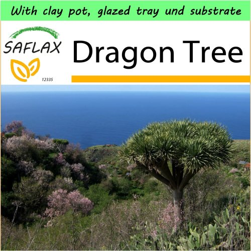 SAFLAX Garden to Go - Dragon Tree - Dracaena - 5 seeds