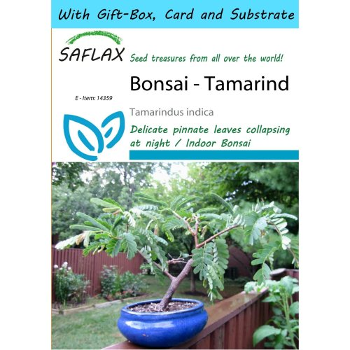 Saflax Gift Set - Bonsai - Tamarind - Tamarindus Indica - 4 Seeds - with Gift Box, Card, Label and Potting Substrate
