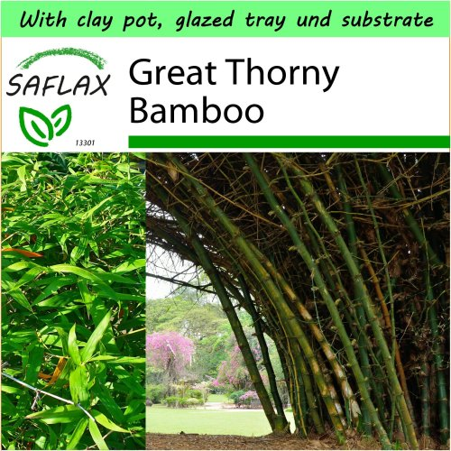 SAFLAX Garden to Go - Great Thorny Bamboo - Dendrocalamus - 50 seeds
