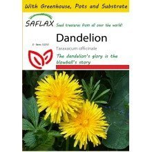 Saflax Potting Set - Dandelion - Taraxacum Officinale - 200 Seeds - with Mini Greenhouse, Potting Substrate and 2 Pots