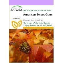 Saflax  - American Sweet Gum - Liquidamber Styraciflua - 100 Seeds