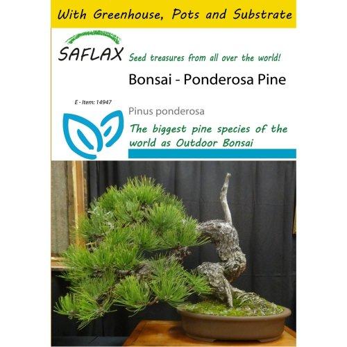 Saflax Potting Set - Bonsai - Ponderosa Pine - Pinus Ponderosa - 20 Seeds - with Mini Greenhouse, Potting Substrate and 2 Pots
