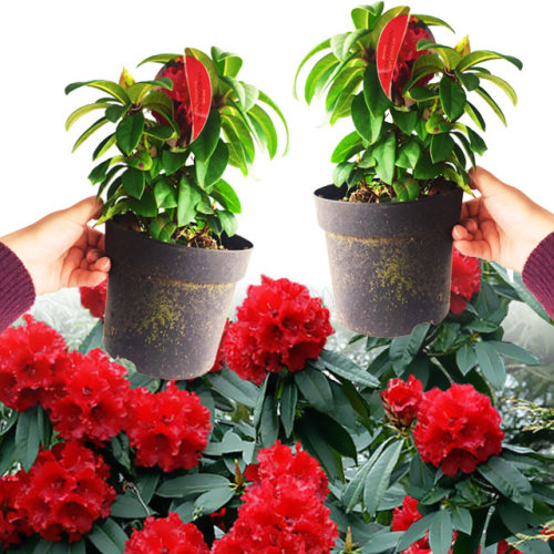 2 Rhododendron Red Jack Plant in Pot Hardy Evergreen Garden Flower Shrub Outdoor Tree for Entryway Border