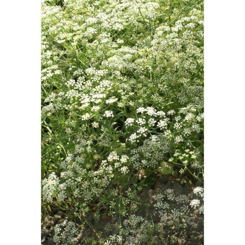 Herb - Anise - Pimpinella Anisum - 3750 Seeds
