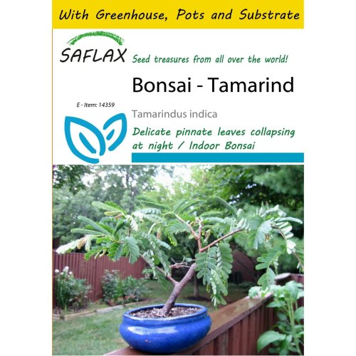 Saflax Potting Set - Bonsai - Tamarind - Tamarindus Indica - 4 Seeds - with Mini Greenhouse, Potting Substrate and 2 Pots