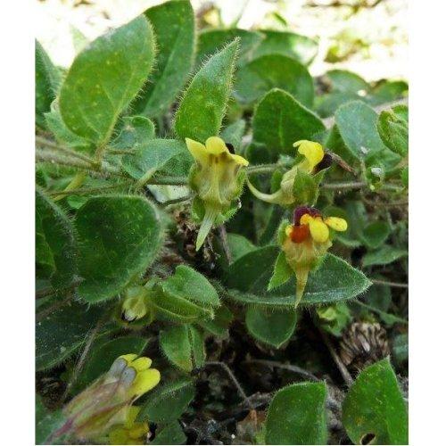 Wild Flower - Round-Leaved Fluellen - Kickxia Spuria - 25 Seeds